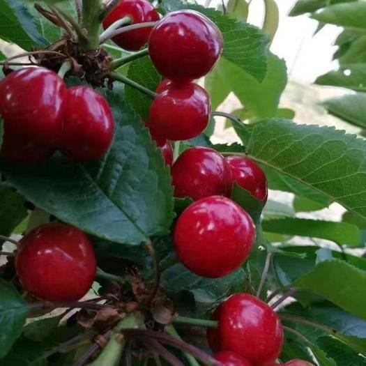 臨沂平邑縣 山東臨沂新鮮大櫻桃,紅燈,路地自然熟,現摘現發,支持一件代發
