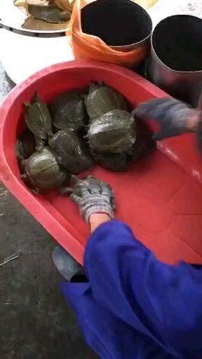 嘉兴海盐县 养殖场直发顺丰包活运到甲鱼苗6两的