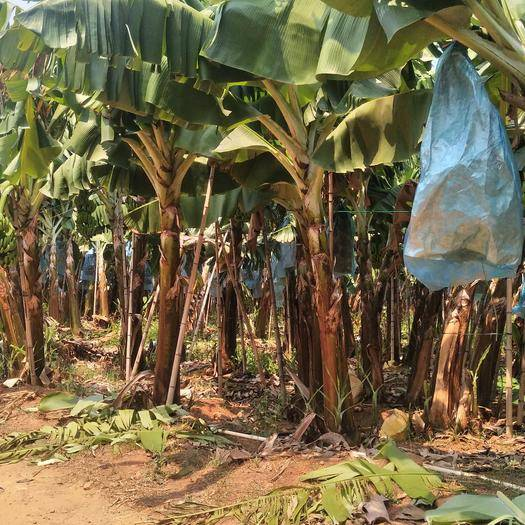 东方市 海南水果香蕉