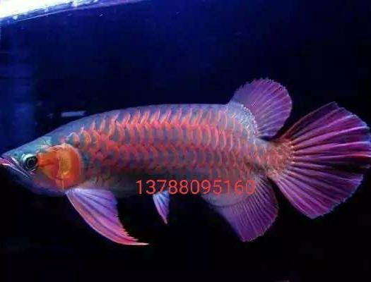 广州荔湾区金龙鱼 喜欢养鱼…的朋友欢迎…联系来订购…这是客厅,办公室档口养殖…