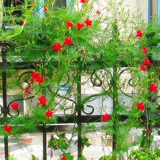 丹阳市羽叶莺萝种子 羽叶茑萝花种子四季种易*庭院阳台盆栽爬藤植物开花不断花草种籽