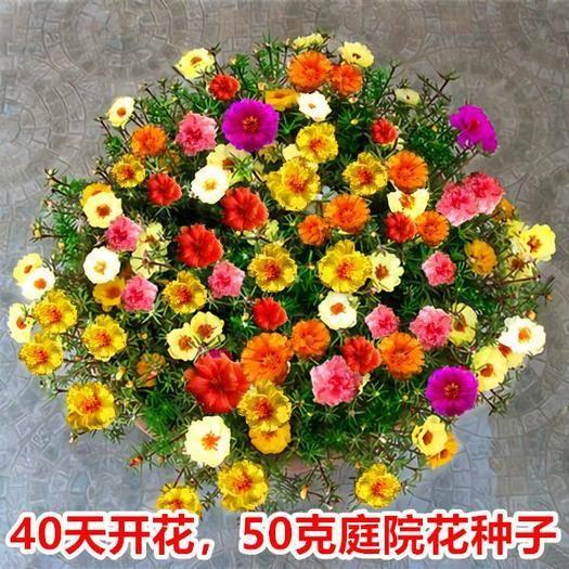 镇江丹阳市 【开花率高】太阳花种子四季易活室外庭院百日草花卉开花不断花籽