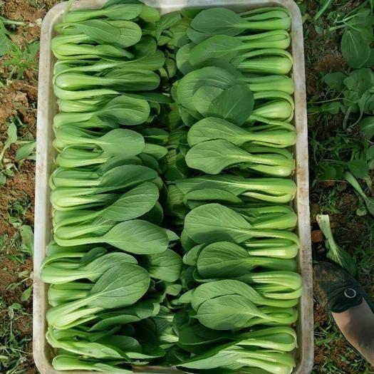 菏泽曹县油菜苗 长期供应上海青小白菜,保质保量,诚信第一,可实地考察