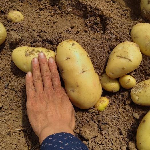安丘市 2019春季新鮮土豆荷蘭十五號土豆貨好價低