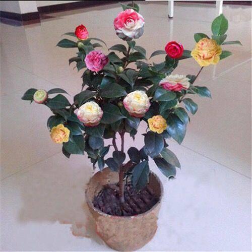 镇江丹阳市 买一送三 茶花苗当年开花四季开花绿植花卉盆栽室内庭茶花盆景苗