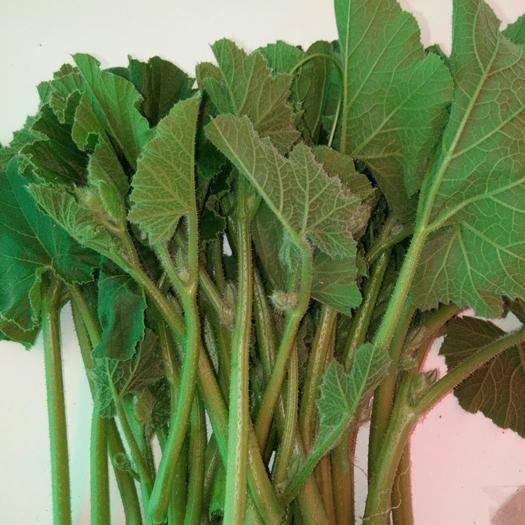 石家庄赵县 新鲜的南瓜藤,纯绿色有机,采摘新鲜的南瓜嫩芽。好吃的不得了