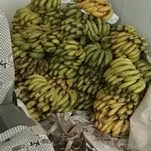 昆明安宁市河口香蕉 八成熟