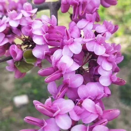 宿迁沭阳县紫荆花种子 花木种子绿化苗紫荆种子,发芽高,