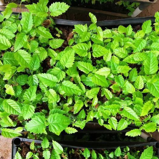 广州荔湾区 苗圃直供优质多花紫花风铃木苗 批发绿化苗木
