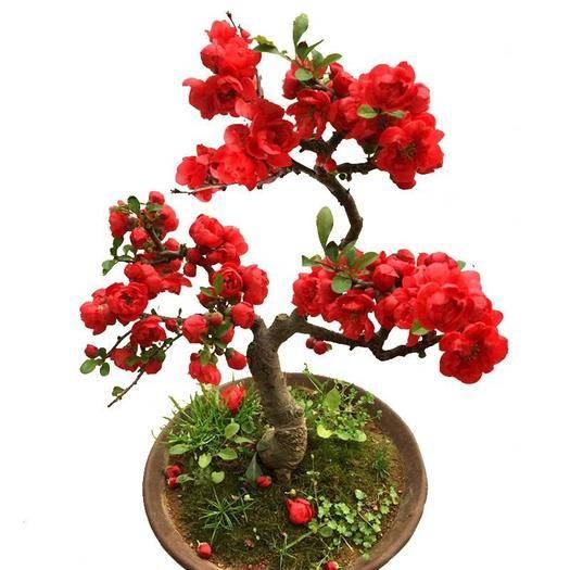 平邑縣 長壽海棠  盆栽  盆景觀花 保濕發貨  當年開花 包郵