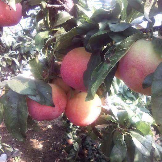 营口盖州市幸运李子 富士苹果