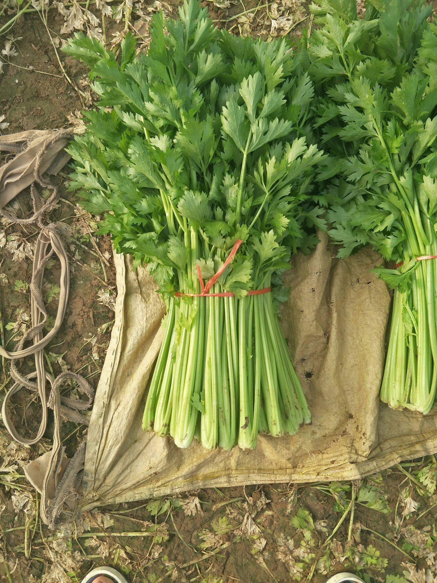 西芹 60cm以上 0.5~1.0斤 大棚种植