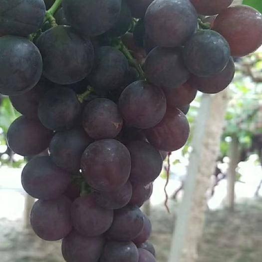 唐山 唐山葡萄上市,有需要的老板联系
