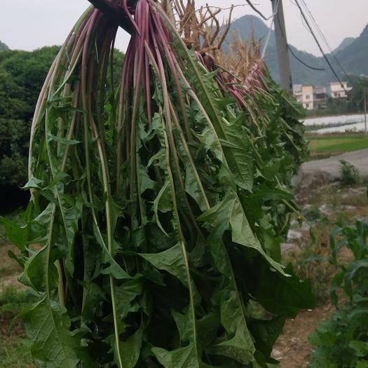 贵州省黔南布依族苗族自治州罗甸县蒲公英(鲜食) 没有任何施肥,还没有任何农药,真正的无公害野菜。
