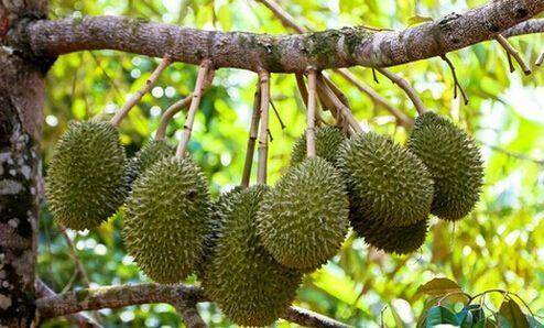 钦州灵山县 泰国进口金枕榴莲苗,名贵热带果树。
