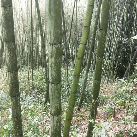雅安 各种规格的金竹长度1_10米,尾径3到10公分
