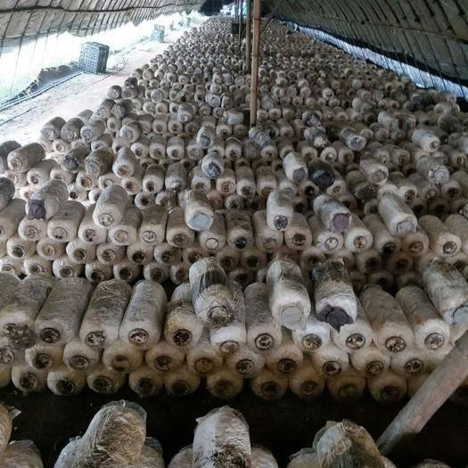江苏省无锡市锡山区 秀珍菇