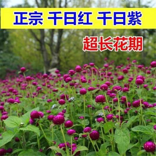 临沂平邑县 千日红种子  花期长  颜色紫粉白  发芽无忧