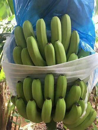 贵港 广东高品质香蕉,品质优!不支持7天无理由退换货!