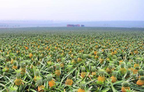钦州灵山县皇后菠萝苗 可盆栽可地栽可枞生,百分之百成活百分之百结果。