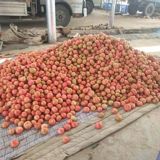 滑縣 萬畝硬粉西紅柿大量供應基地直供