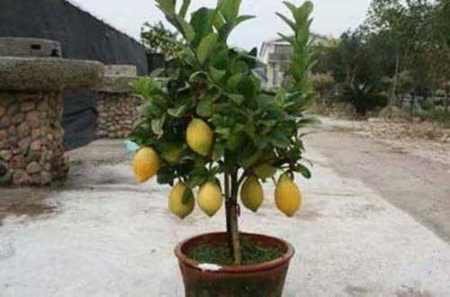 灵山县尤力克苗 可盆栽庭院阳台可地栽,四季有果。美容养颜美人果。