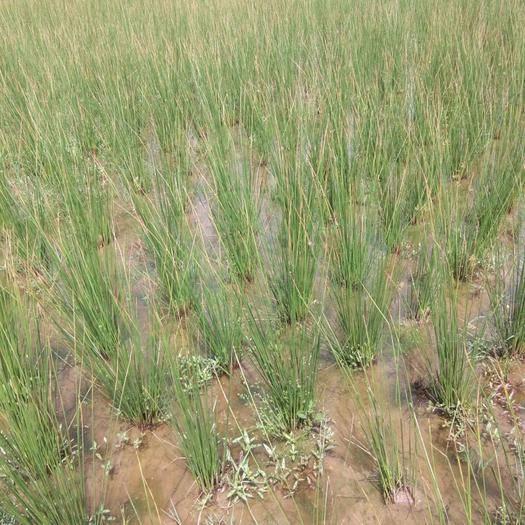 隆昌市燈芯草 本合作社種植大量,產品發大量農戶手工播芯,統貨。