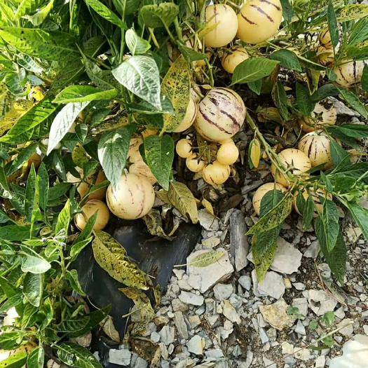 陸良縣 云南陸良召興人參果種植基地每年可供應五千噸以優質人參果園果