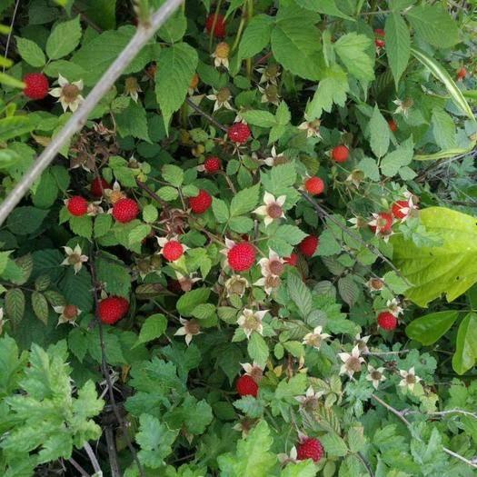 曹县 蛇莓种子,保质保量
