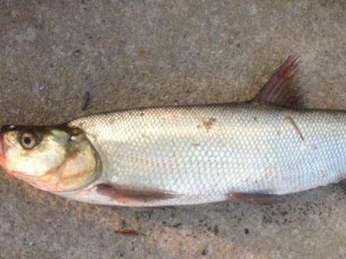 常德安乡县 销售3两以上8两以下优质翘嘴鲌鱼,可食用、可做种苗