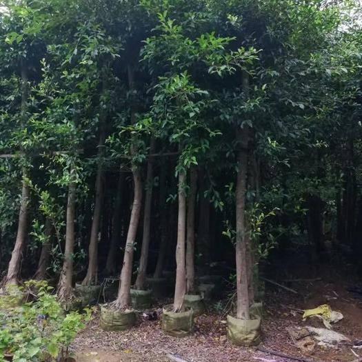 漳州漳浦县 大量种植小叶榕。移植苗地苗都可以联系我