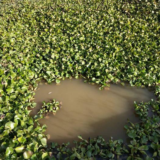 云南省曲靖市麒麟区 水产养殖,家禽,家畜饲料,净化水质,观赏,用途广。