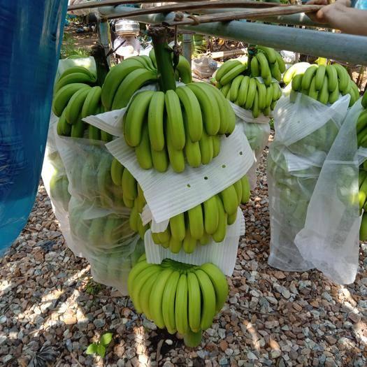 昌江黎族自治县 海南香蕉, 欢迎新,老香蕉批发商的合作