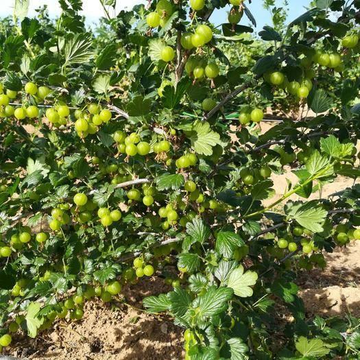 大连 灯笼果快好了,树莓还得一个月,樱桃也快了,软枣得九月份