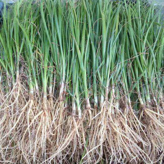 亳州譙城區知母 優質改良品種,基地直供,提供種植技術