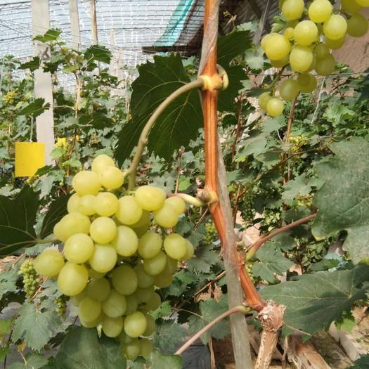 太谷县 无核脆宝葡萄