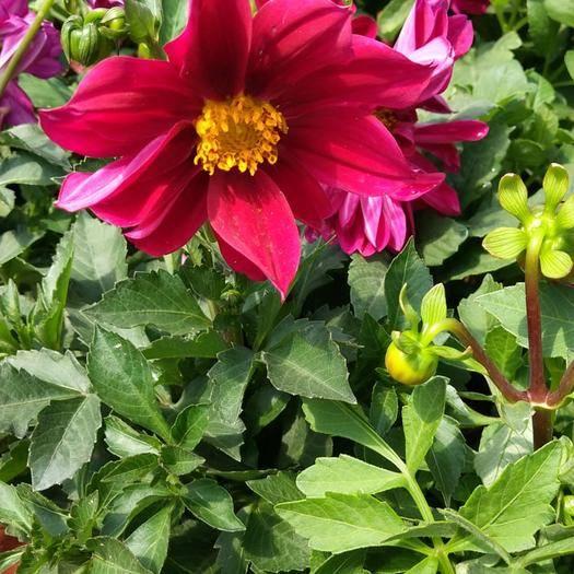 潍坊青州市小丽花种子 小丽花双色盆