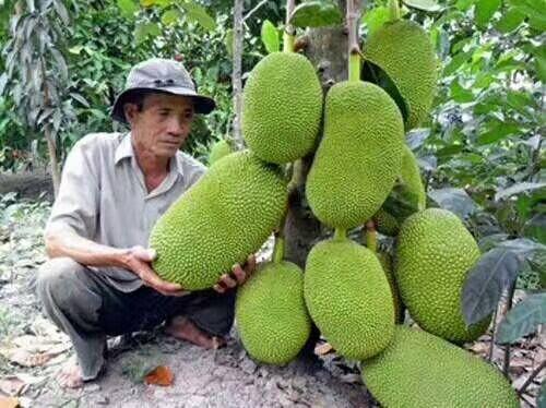 钦州灵山县红肉菠萝蜜苗 这个产品要火了