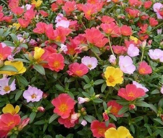 潍坊青州市太阳花种子 太阳花    杯苗