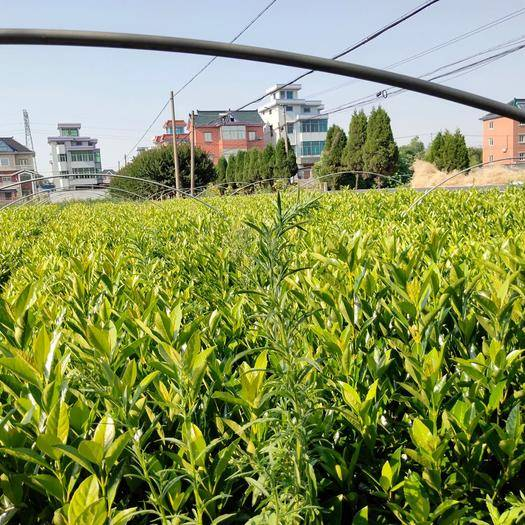 杭州蕭山區 法國冬青杯苗