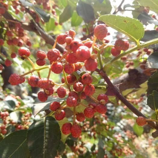 渭南華陰市 南強二號花椒苗,大紅袍花椒最好的品種,包郵包技術,現挖現發。