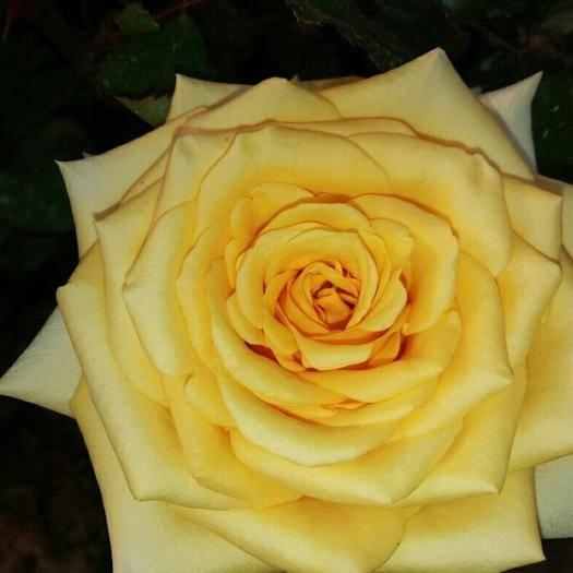 昆明呈贡区玫瑰苗 大花月季