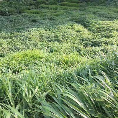 长沙芙蓉区百喜草种子 【宽叶雀稗】进口百喜草牧草种子护坡牧草多年生草籽