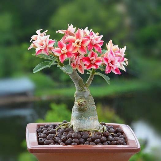 鎮江丹陽市 重瓣沙漠玫瑰花苗四季開花室內辦公綠植花卉盆栽多肉植物
