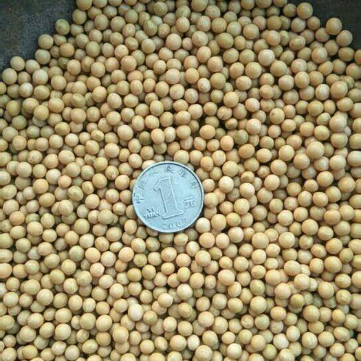 齐齐哈尔讷河市 黄芽豆690新货