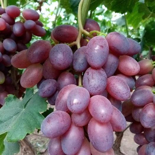 饶阳县黑芭拉多葡萄 大棚种植黑芭拉多,现已陆续成熟,每天采摘供应