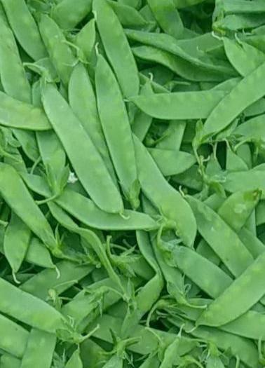 云南省曲靖市沾益区荚豆 荷兰荚宝,产自云南高原,日照充足,色泽翠绿,口感良好。