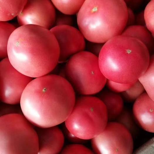 邯鄲 西紅柿大量有貨歡迎各位老板來賺錢