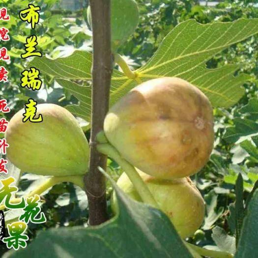 临沂平邑县布兰瑞克苗 当年结果  包品种  包成活
