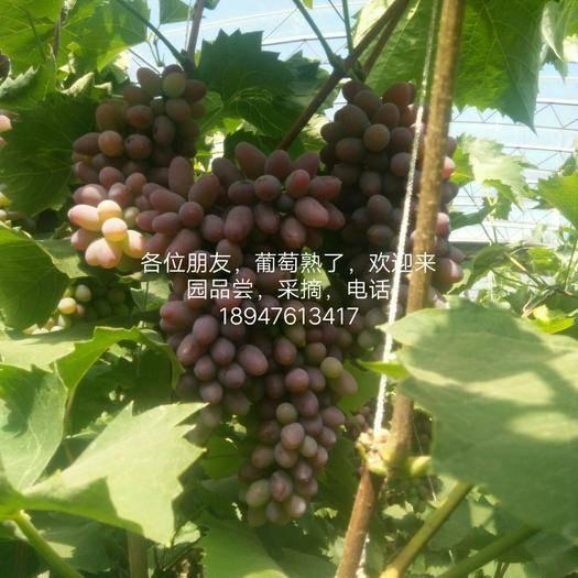 喀喇沁旗 茉莉香葡萄粒大,皮薄,香醇浓郁,上农家肥,深井水浇,自然成